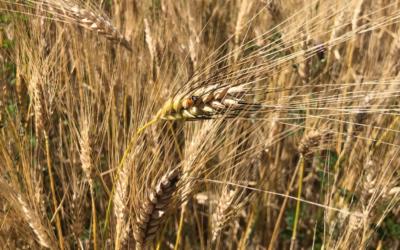 La récolte du blé dur