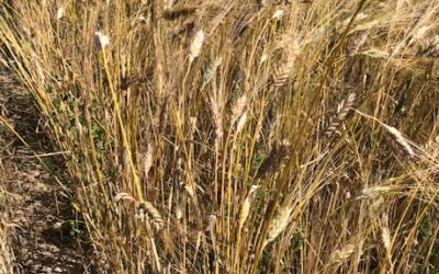 Le blé Khorasan